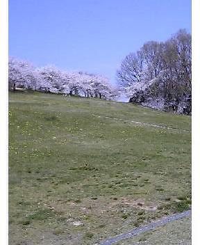 若草山のソメイヨシノ