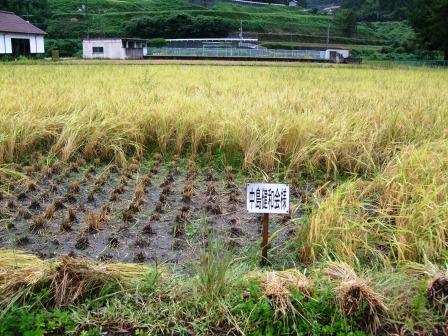 稲刈り体験-03