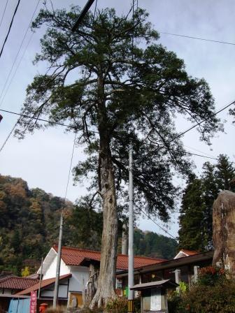 栢の木-02