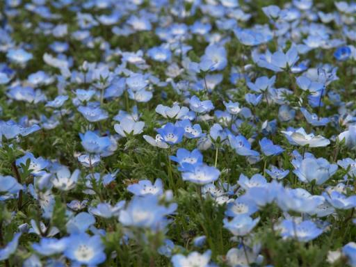 青くて綺麗な花です