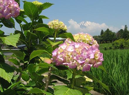 2007年紫陽花と富士