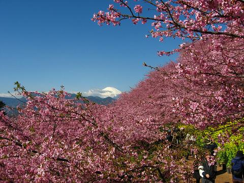 松田の河津桜と富士山