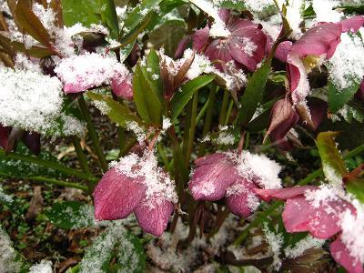 雪をかぶったクリスマスローズ