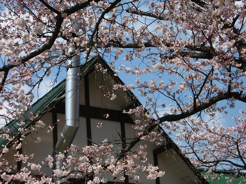 工房前の桜