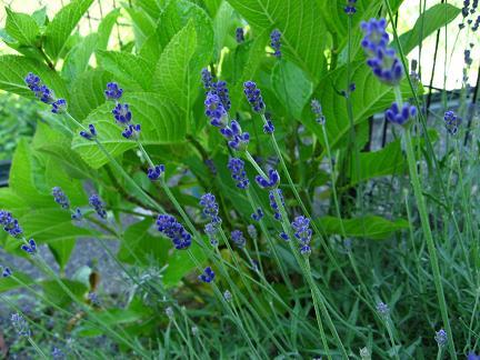 紫陽花とラベンダー