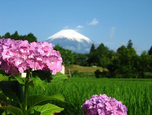 2009年紫陽花と富士
