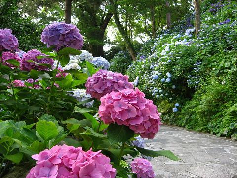 下田の紫陽花 赤