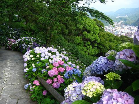 下田の紫陽花の道3