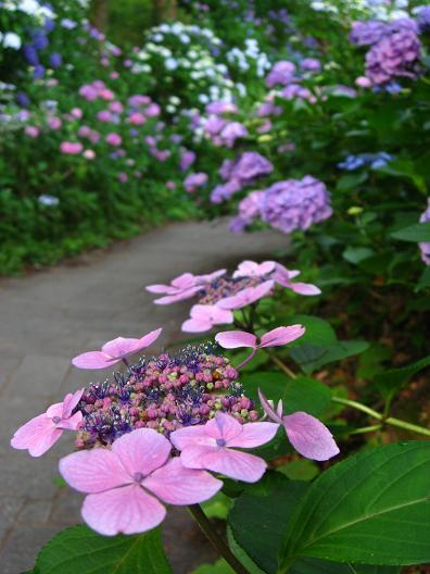 下田の紫陽花 赤2