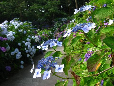 下田の紫陽花・青3