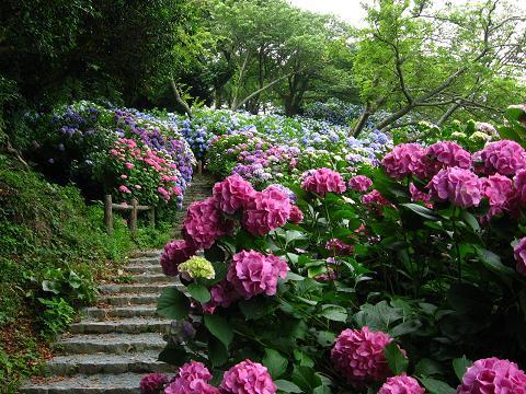 下田の紫陽花 赤5