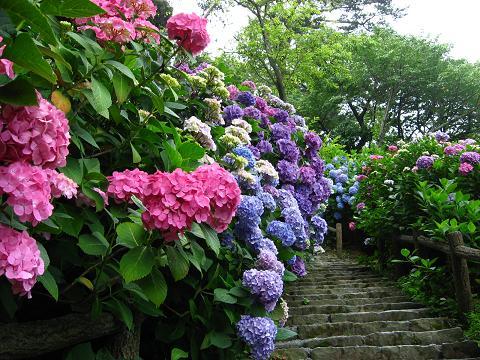 下田の紫陽花の道2