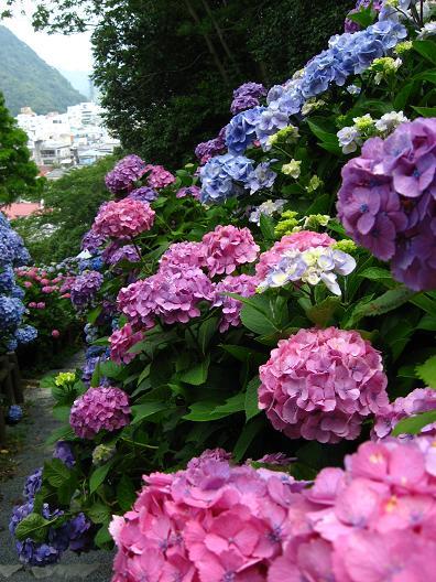 下田の紫陽花の道