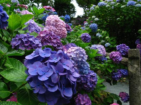 下田の紫陽花・青4