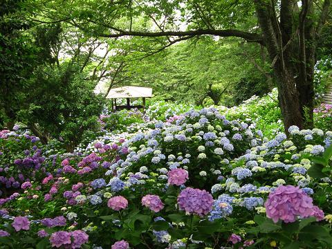 下田の紫陽花・青5
