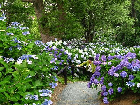 下田の紫陽花の道4
