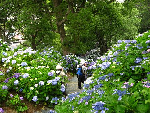 下田の紫陽花の道5