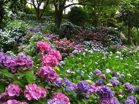 下田の紫陽花の道6