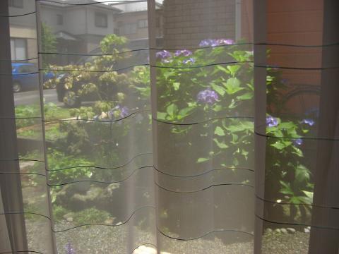 カーテン越しの紫陽花