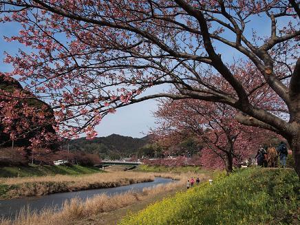 南伊豆・青野川沿いの桜