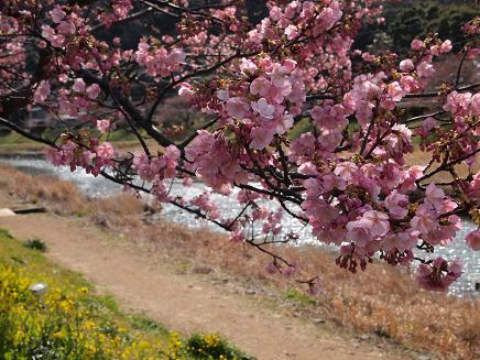 南伊豆・青野川沿いの桜 2
