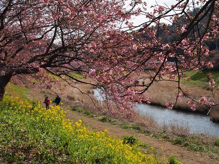 南伊豆・青野川沿いの桜 3