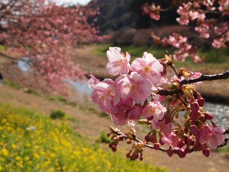 南伊豆・青野川沿いの桜 4