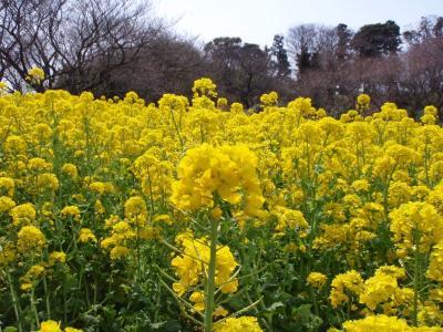菜の花畑3