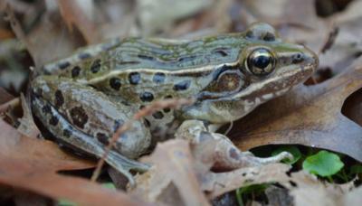 新種のカエル