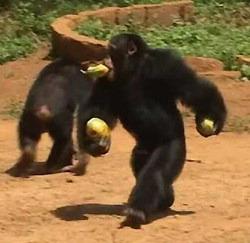 パパイアを持って歩くチンパンジー