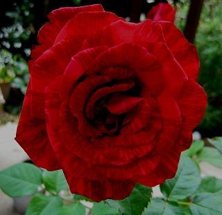 憧れのバラ