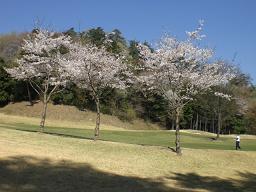 ハーモニーヒルズの桜