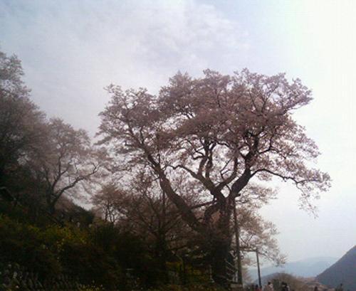 ひょうたん桜04