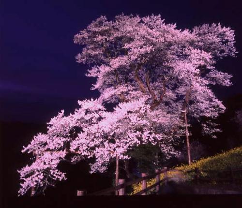 ひょうたん桜06