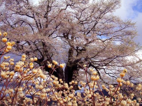 醍醐桜09