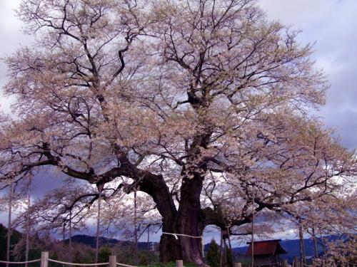醍醐桜10