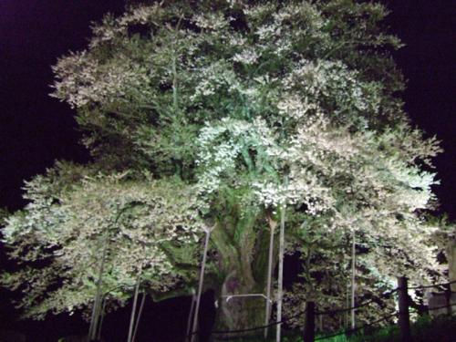 醍醐桜14