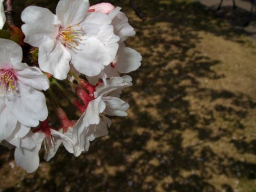 宇多津桜06
