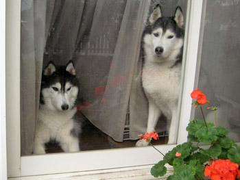 窓辺の癒しハスキーズ