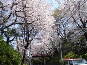 さくら坂の桜1
