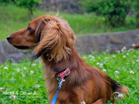 犬とクローバー