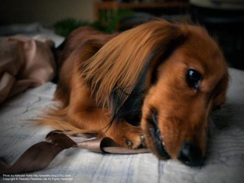 犬と引っ張りっこ