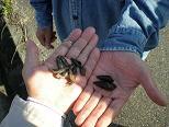 カワニナと沢蟹