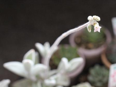 福みみさん開花