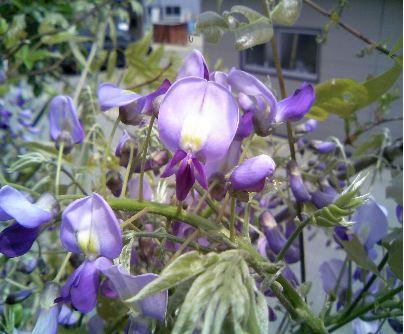 藤の花びら