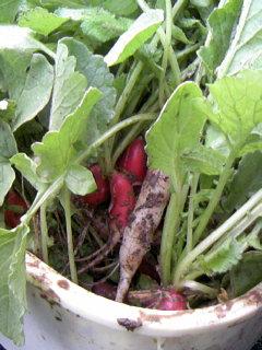 二十日収穫1