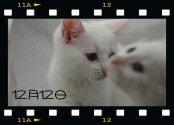 ホワイト子猫